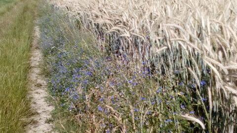 bleuets dans les blés