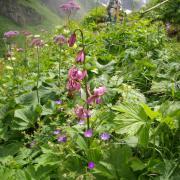 Fleurs dont le lys de Martagnon